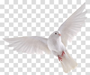 white dove flying, Bird , DOVE PNG