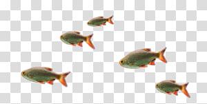 Telescope Common goldfish Ornamental fish, fish PNG clipart
