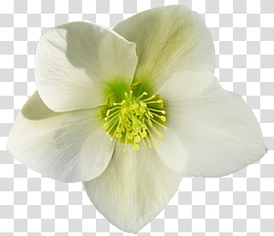 Petal, parsley PNG