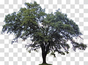 green leafed tree, Ulmus americana Southern live oak Tree Crab , trees PNG clipart