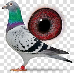 Racing Homer Homing pigeon Columbidae Bird Beak, Bird PNG clipart