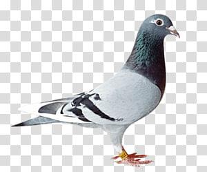 Homing pigeon Racing Homer Pigeon racing Fancy pigeon, Bird PNG clipart