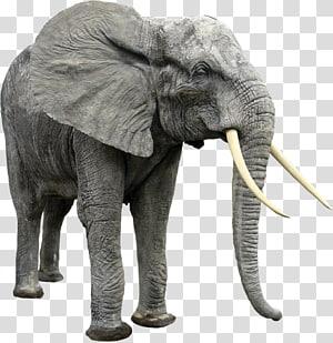Asian elephant Elephantidae , extinct animal PNG