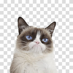 Grumpy Cat Kitten , cats PNG clipart