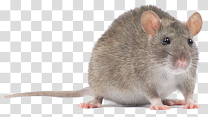 gray rat, Computer mouse Rodent Murids Black rat, pc mouse PNG
