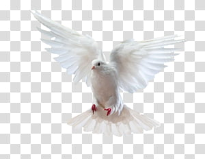 white dove artwork, Rock dove Homing pigeon Columbidae, Puchi flying bird PNG
