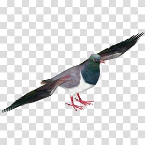 Pigeons and doves New Zealand pigeon Bird Racing Homer Pigeon racing, Bird PNG clipart