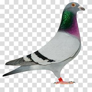 Columbidae Homing pigeon Pigeon racing Marco Klein Falckenborg Pigeon sport, pigon PNG clipart