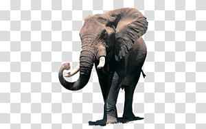 African elephant Desktop Elephantidae Indian elephant, others PNG
