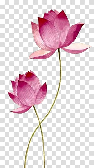 pink flowers illustration, Drawing Nelumbo nucifera, Pink lotus PNG