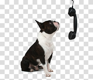 Boston Terrier North Ridge Veterinary Hospital Cat Pet Shop, Cat PNG clipart