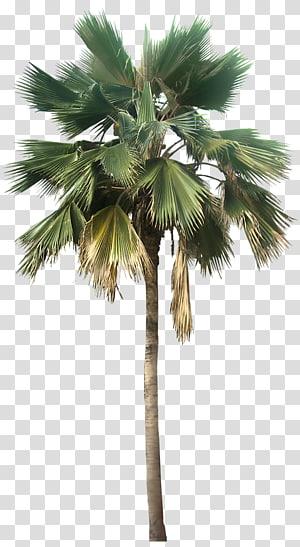 palm tree, Washingtonia robusta Washingtonia filifera Pritchardia pacifica Arecaceae, Palm Tree Great Looking Desert Plants PNG clipart