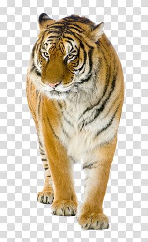 Lion Felidae Bengal tiger , tiger PNG