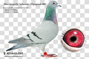 Racing Homer Modena pigeon Fancy pigeon dove Pigeon racing, racing pigeon PNG clipart