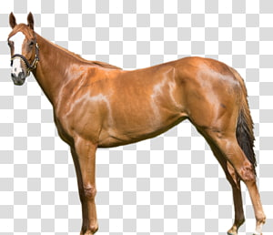 Mare Mustang Stallion Foal Colt, horse race PNG
