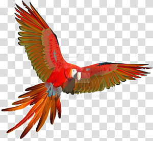 Scarlet macaw Parrot Red-and-green macaw Bird, parrot PNG