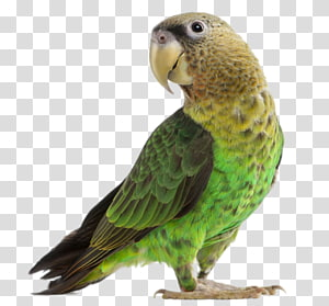 green parrot PNG clipart