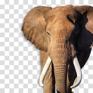 African bush elephant Addo Elephant National Park Indian elephant Desktop , elephant PNG