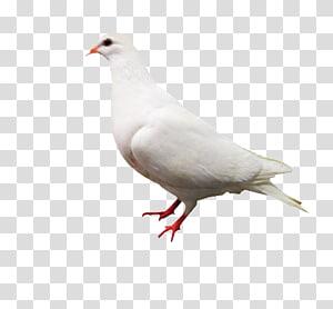 Rock dove Columbidae White Computer file, White Pigeon PNG
