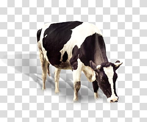 black and white Holstein friesian cow, Dairy cattle Banana Flavored Milk Ox, Dairy cow PNG