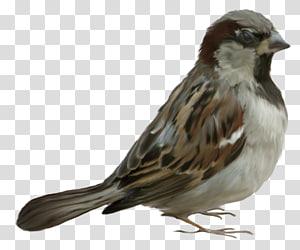 House Sparrow Bird , Bird PNG