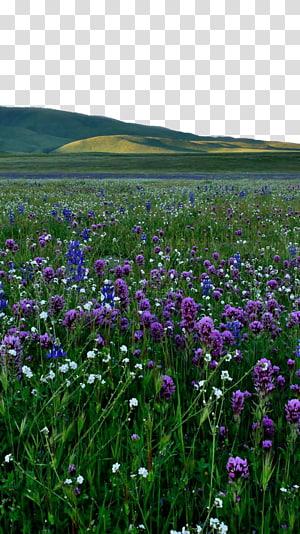 Lavender Violet Purple , Lavender fields on PNG
