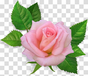 Rose Pink flowers , rose PNG
