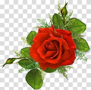 Rose Pink Illustration Red, rose PNG clipart