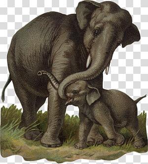 African bush elephant Indian elephant Calf, baby elephant PNG