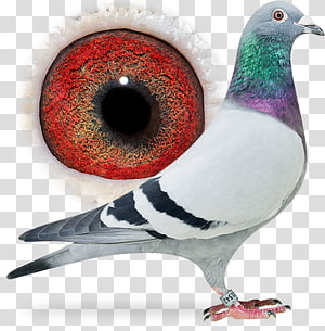 Columbidae Homing pigeon Pigeon racing Beak, pigeon dangling ring PNG clipart