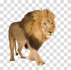 walking lion PNG clipart