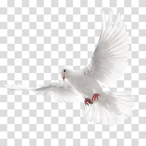 peace dove PNG clipart