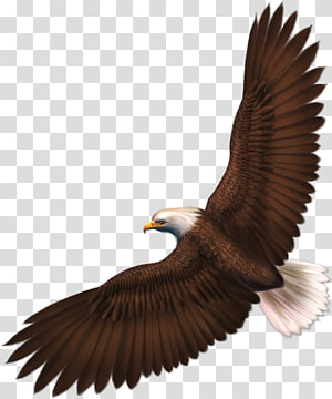 Bald Eagle , Eagle with transparency, free PNG clipart
