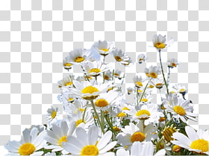 Desktop Color Common daisy , papatya PNG clipart