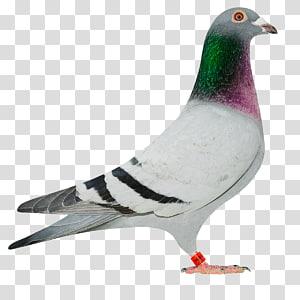 Homing pigeon Columbinae Rock dove dove Bird, baby pigeon PNG clipart