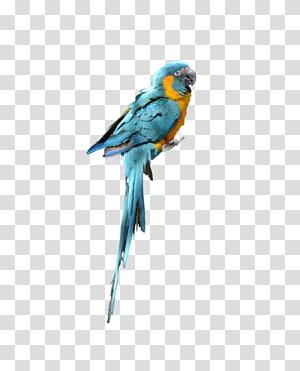 Parrot Bird Budgerigar Parakeet, parrot PNG clipart