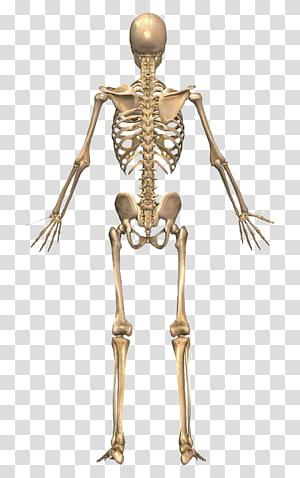 skeletal system, The Skeletal System Human skeleton Human back Human body, Skeleton PNG