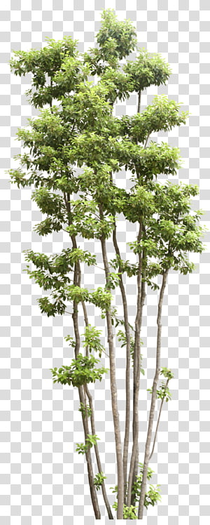 green leafed tree, Tree Shrub Transparency and translucency, Trees PNG clipart