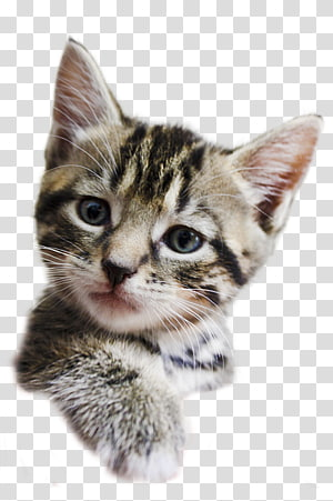 Dragon Li Kitten American Shorthair American Wirehair California spangled, kittens PNG