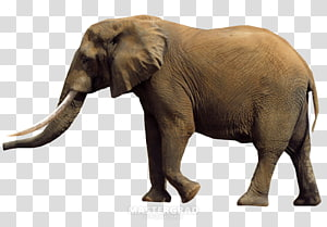 American Pit Bull Terrier Beagle African bush elephant African forest elephant Sumatran elephant, elephants PNG
