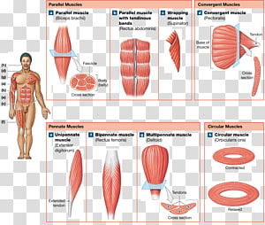 Muscle fascicle Anatomy Human body Pennate muscle, Anatomy Muscle PNG