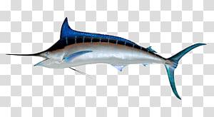silver and blue fish, Sailfish Atlantic blue marlin Illustration, Swordfish PNG clipart