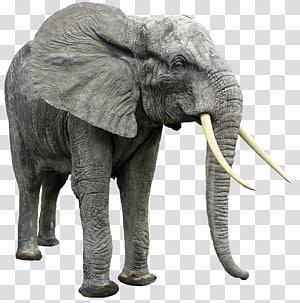 African bush elephant African forest elephant Indian elephant, elephants PNG