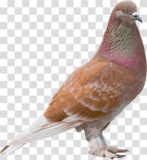 Columbidae Bird Color, Bird PNG