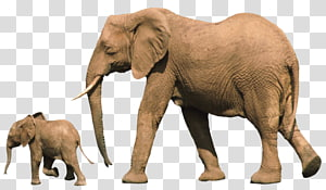 African bush elephant Baby Elephant Asian elephant Elephants Infant, elephants PNG
