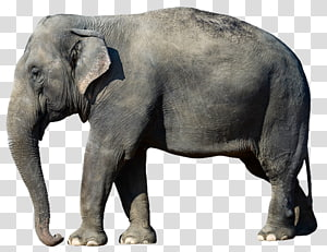 African bush elephant Asian elephant Desktop African forest elephant, elephant PNG