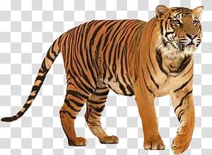 Siberian Tiger Bengal tiger, climbing tiger PNG