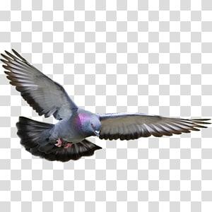 Racing Homer Columbidae Homing pigeon Bird Fancy pigeon, Bird PNG