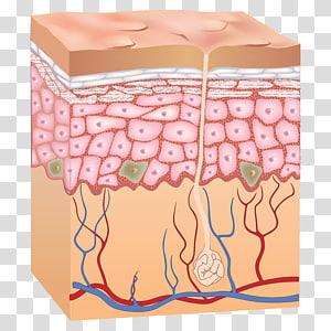 Epidermis Human skin Anatomy, skin PNG clipart