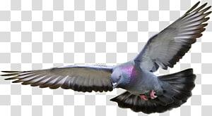 Racing Homer Homing pigeon Columbidae Bird Fancy pigeon, Bird PNG clipart